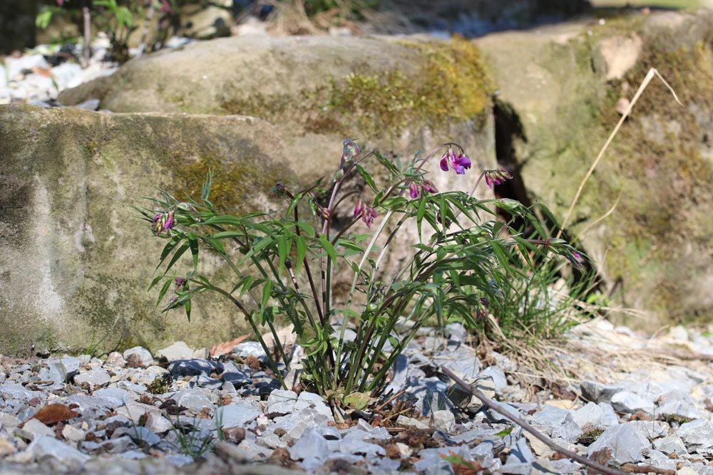 Frühlings Platterbse, Lathyrus vernus