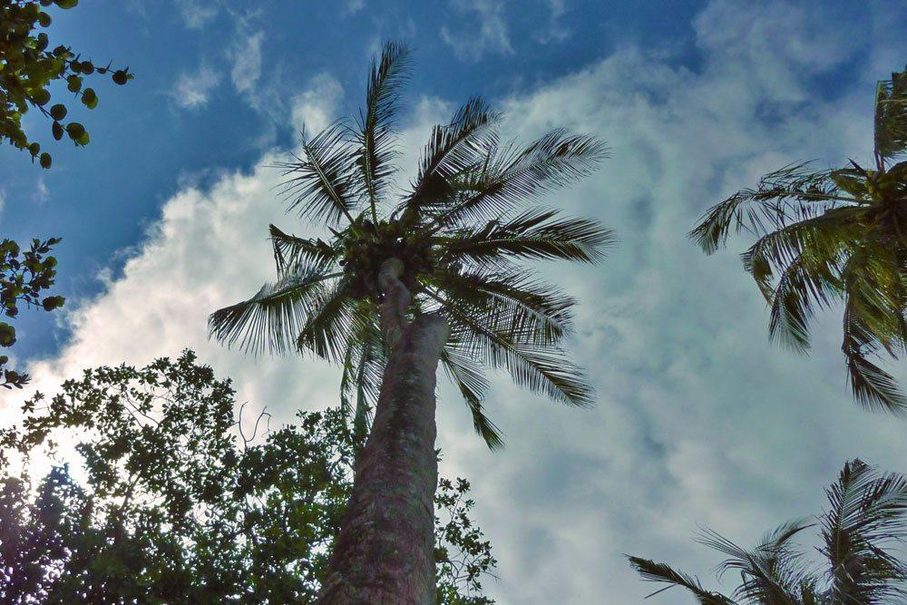 Kokospalme, Cocos nucifera