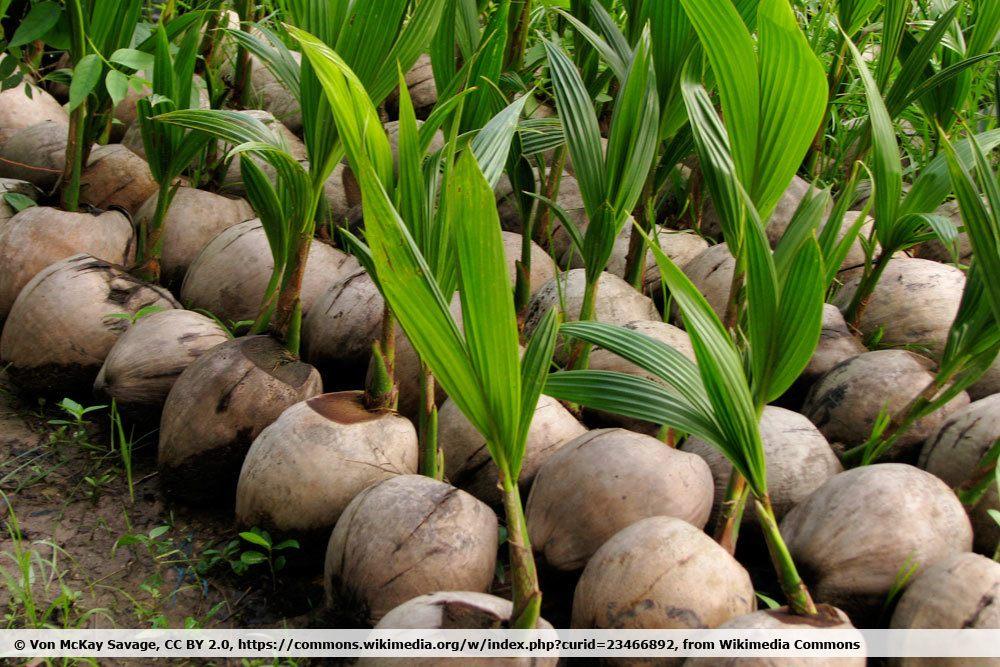 Kokospalmen, Cocos nucifera