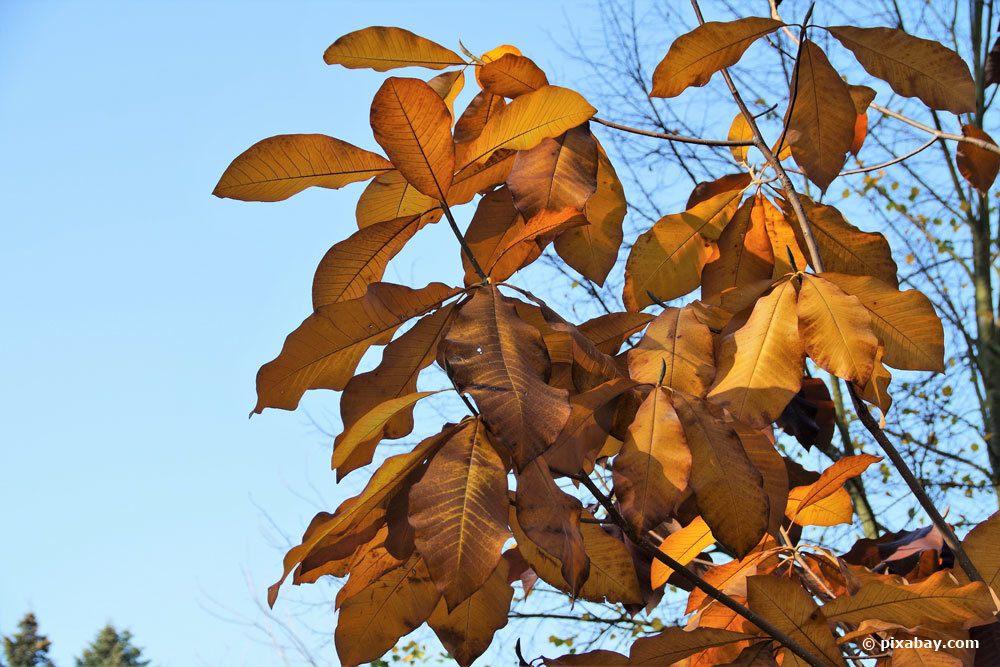 Magnolie mit braunem Laub