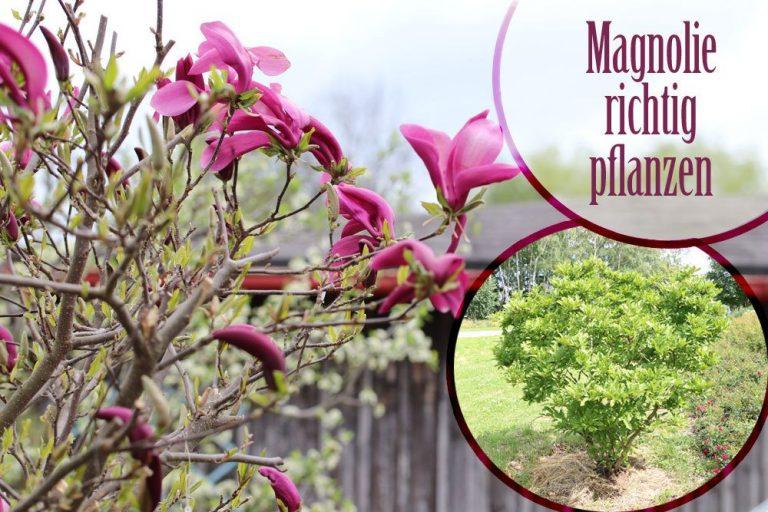 Magnolie pflanzen