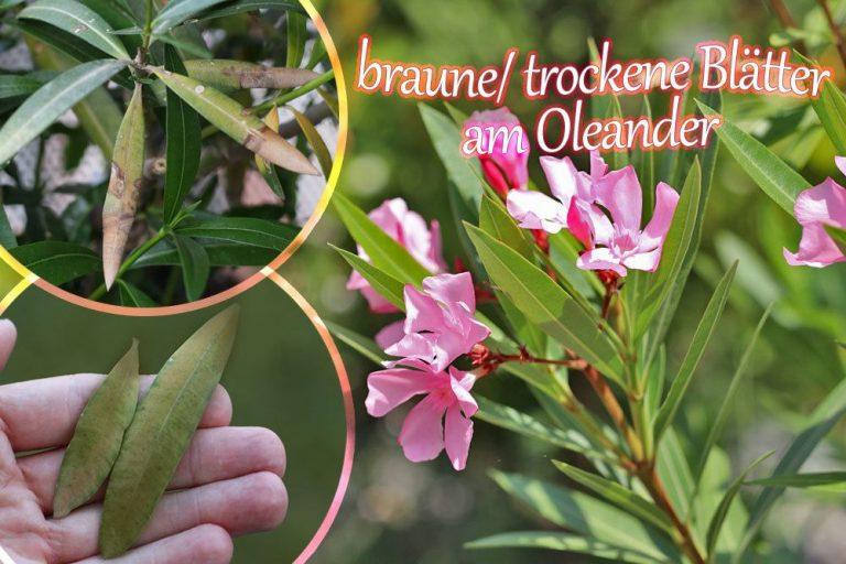 Oleander bekommt braune Blätter