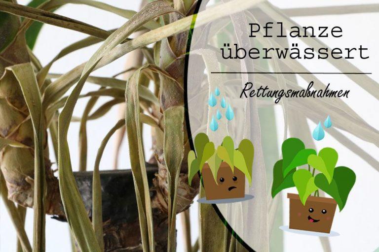 Pflanze überwässert