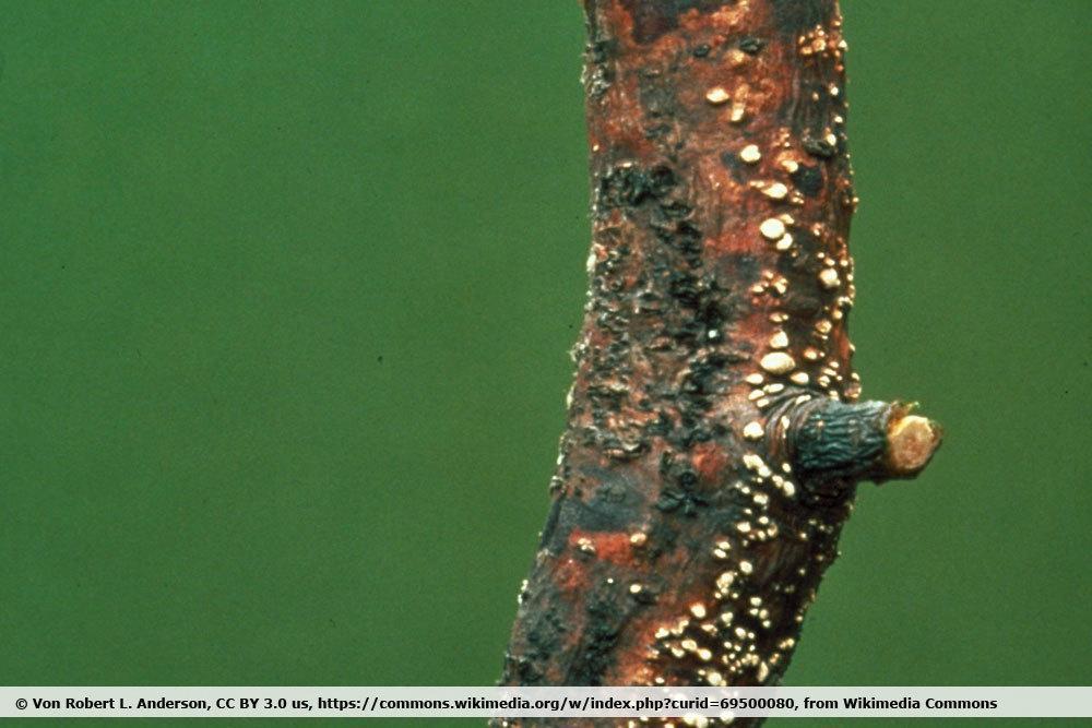 Rost an einer Kiefer, Cronartium ribicola