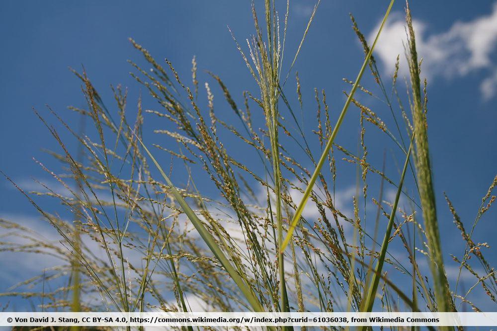 Säulen-Rutenhirse 'Northwind', Panicum virgatum