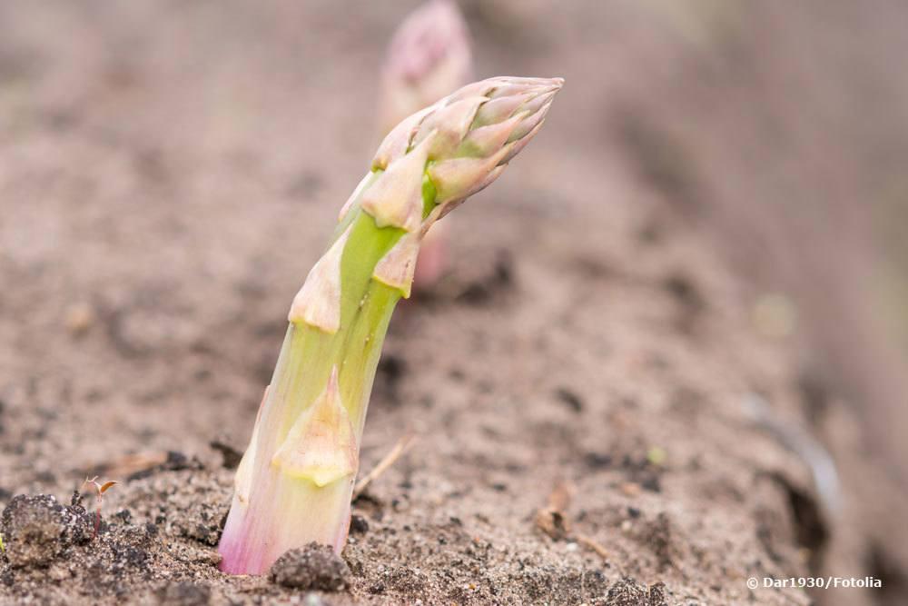 Spargel, Asparagus