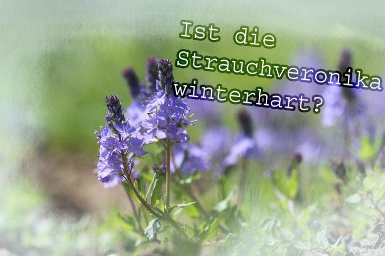 Ist Strauchveronika winterhart