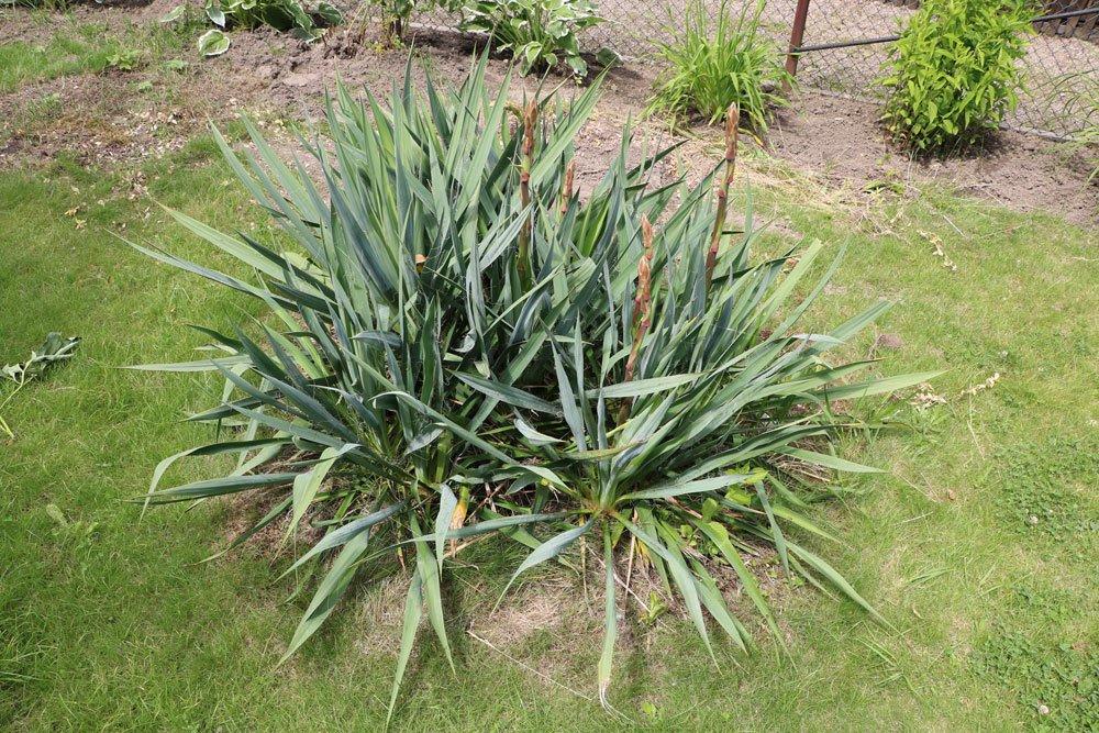 Kerzen-Palmlilie, Yucca gloriosa