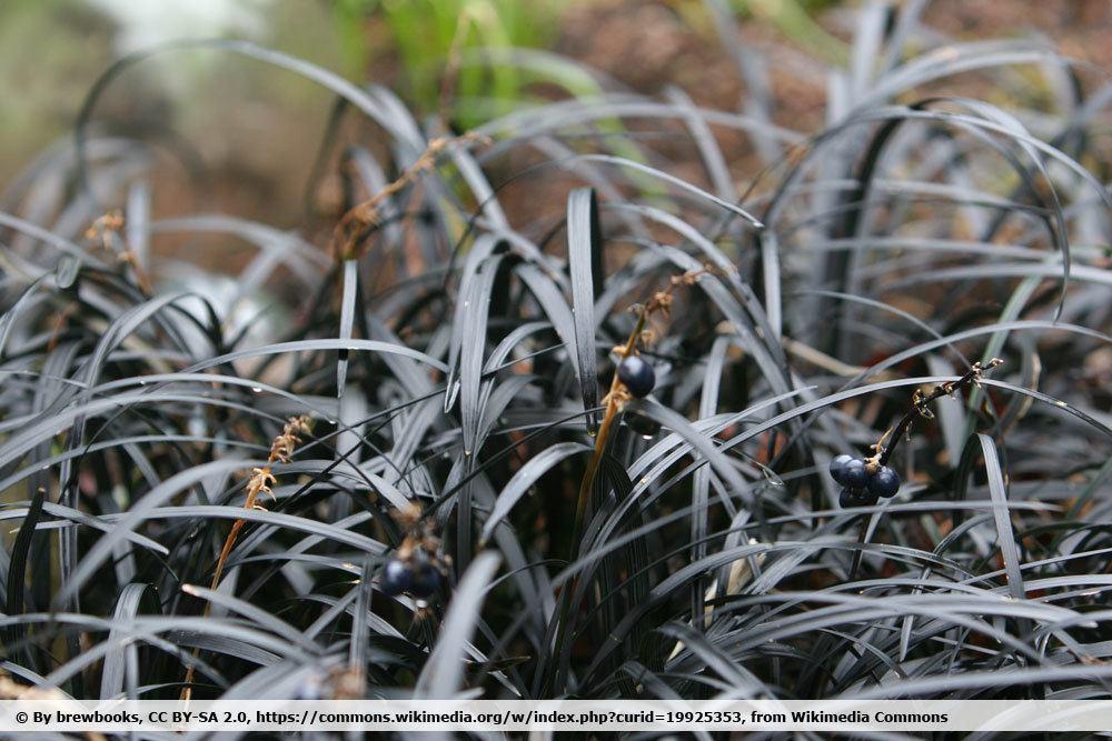 Schwarzer Schlangenbart, Ophiopogon planiscapus