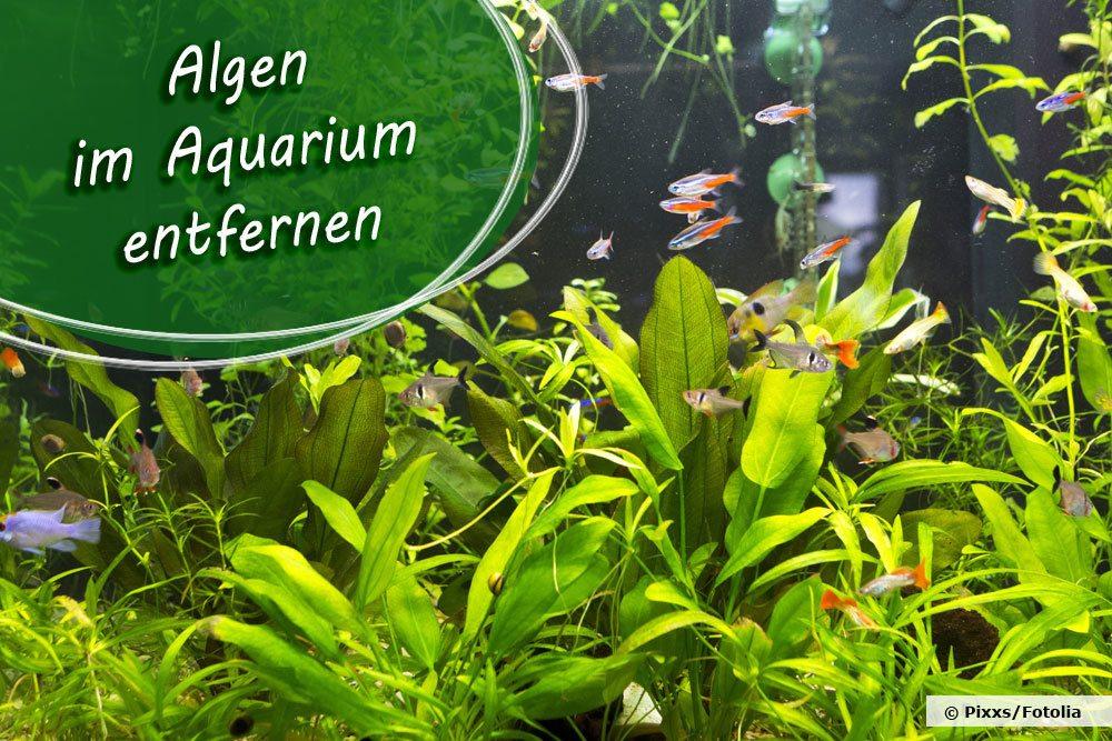 Algen im Aquarium entfernen