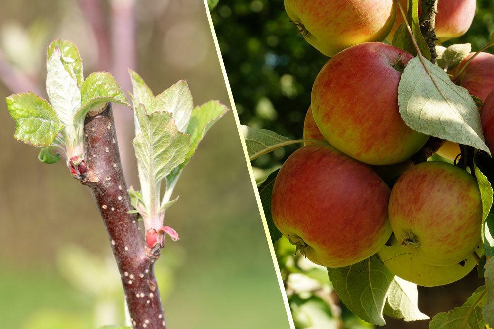 Apfelbaum blüht nicht
