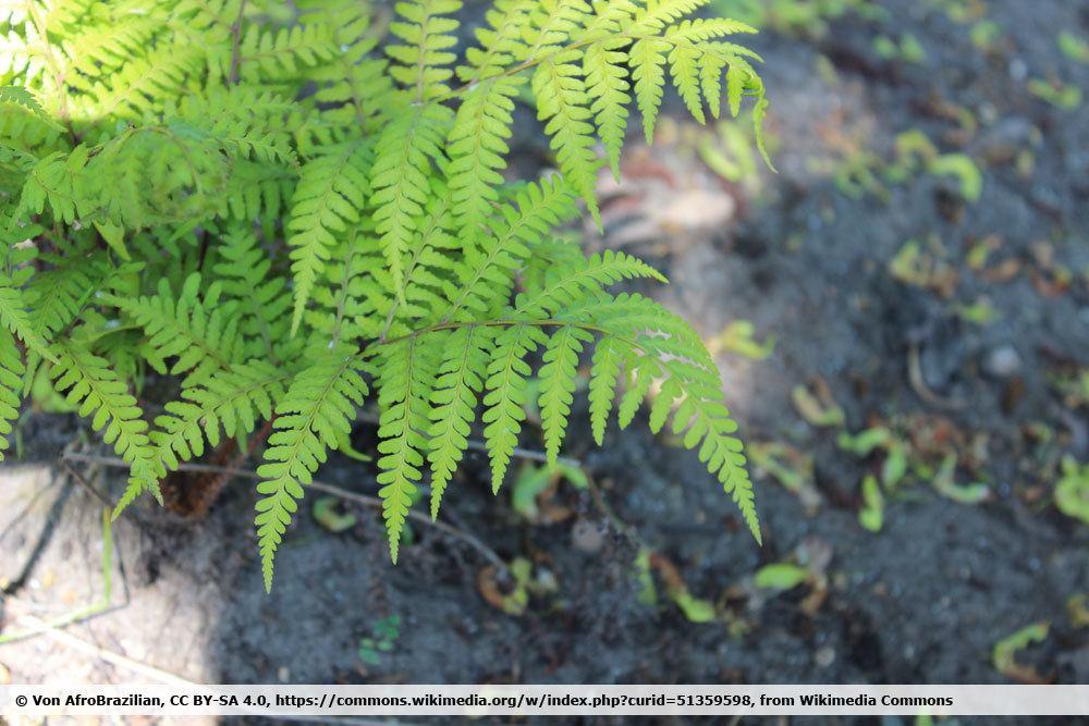 AsiatischeR Frauenfarn; Athyrium vidalii