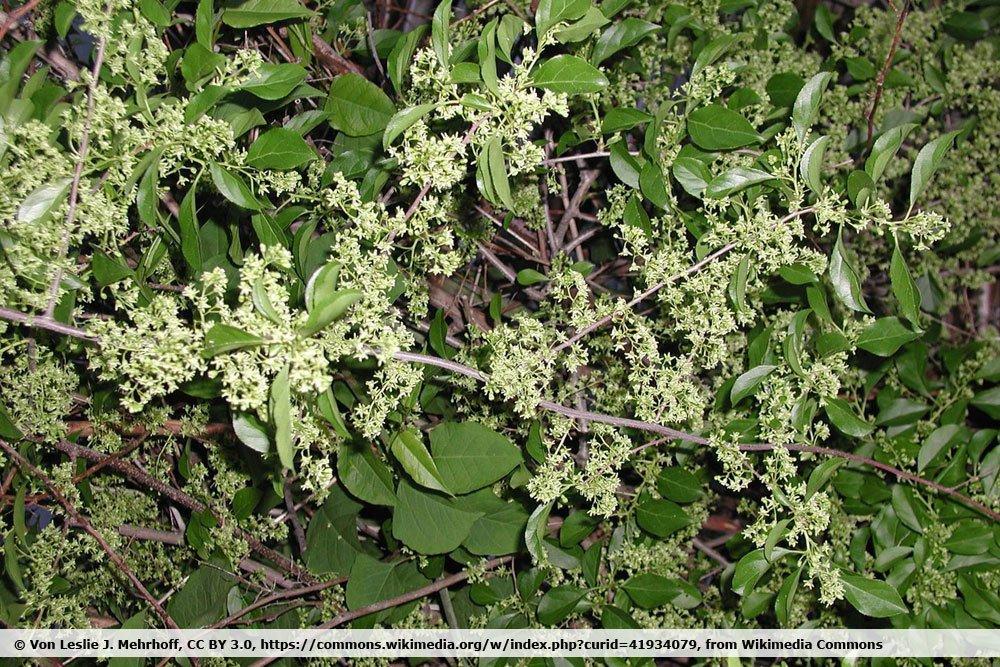 Baumwürger, Celastrus orbiculatus