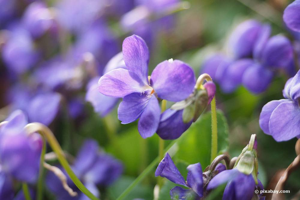 Duftveilchen, Viola odorata