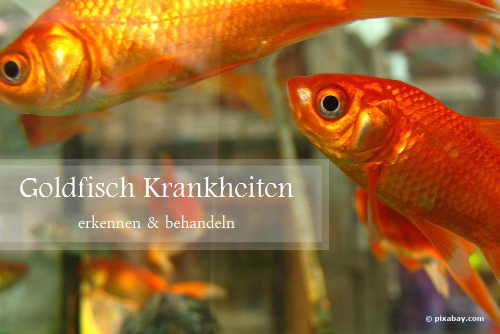 Goldfisch Krankheiten