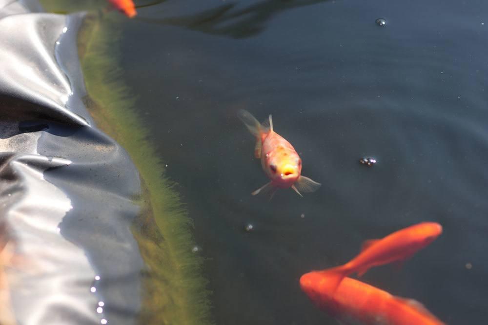 Fische gegen Algen im Gartenteich