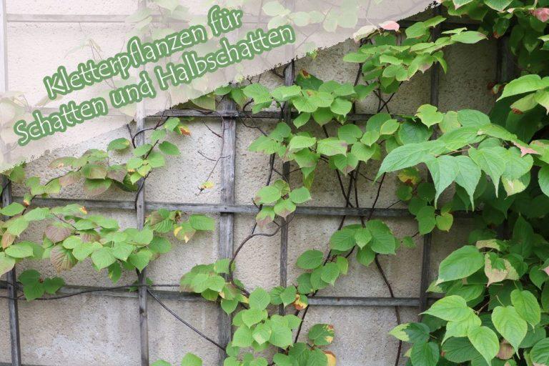 Kletterpflanzen für den Schatten