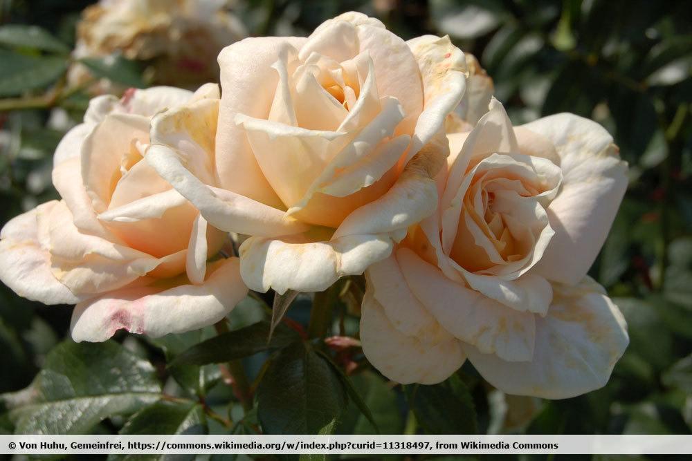 Rose 'Lions Ros'