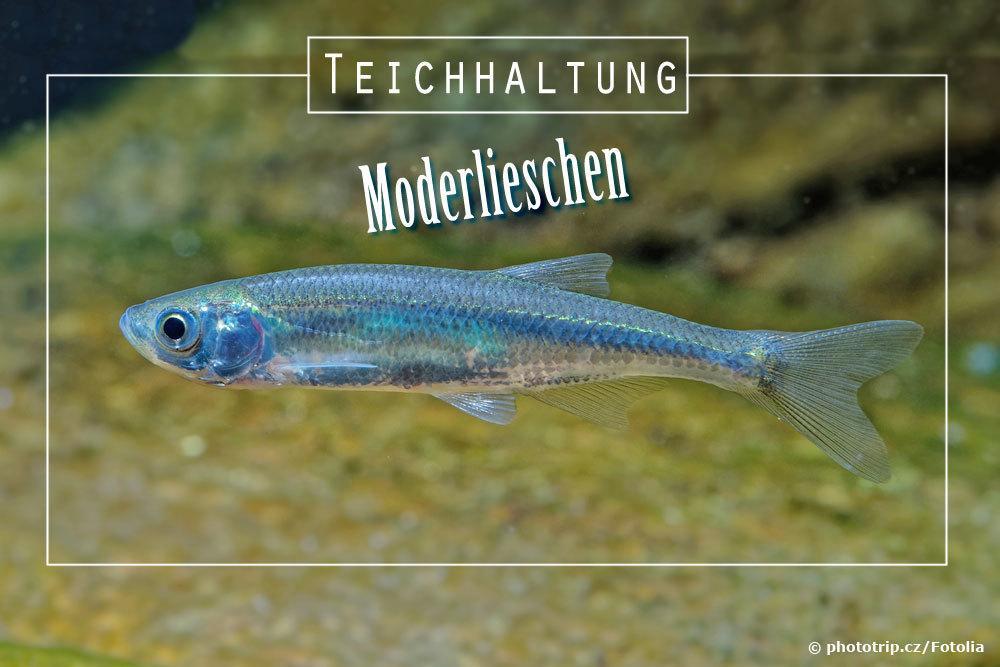 Moderlieschen, Leucaspius delineatus