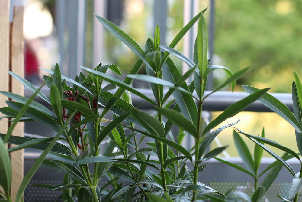 Oleander blüht nicht