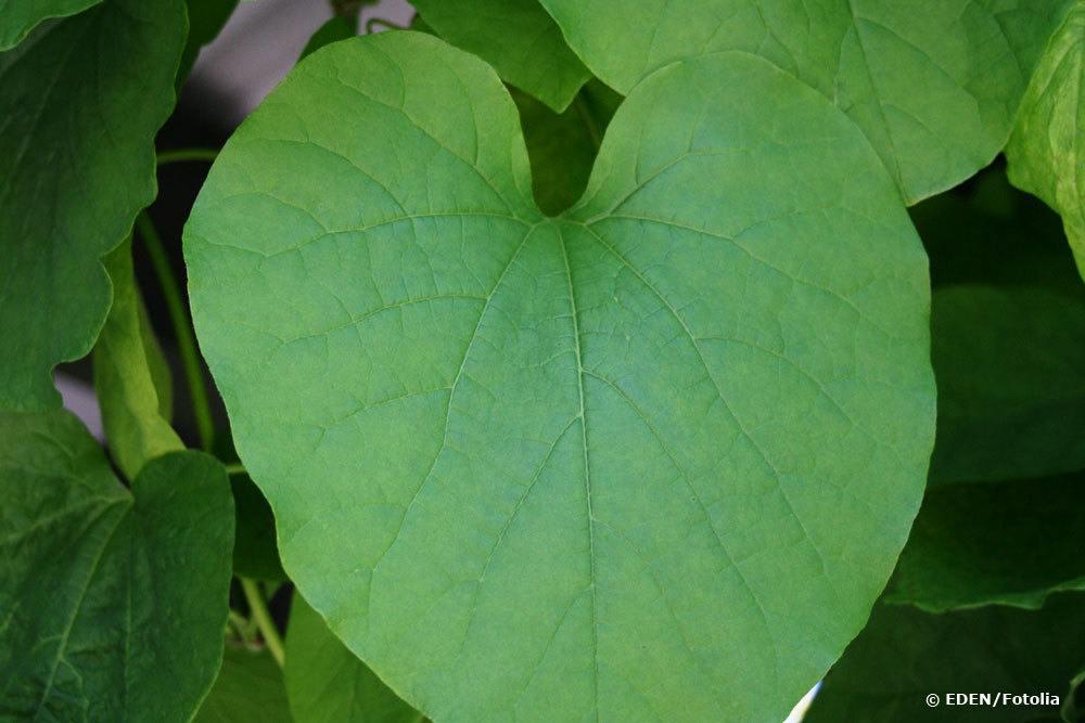 Pfeifenwinde, Aristolochia macrophylla