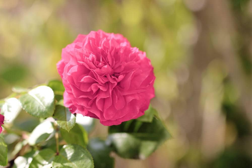 Rose 'Rosarium Uetersen'