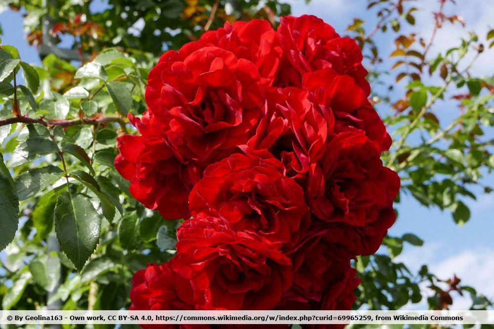 Rose 'Amadeus'