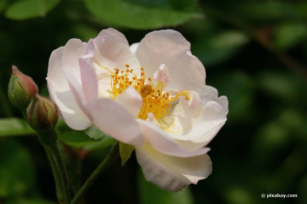 Rose 'Apfelblüte'