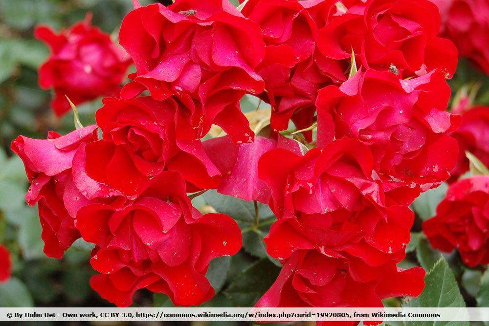 Rose 'Black Forrest Rose'