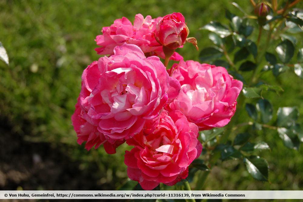 Rose 'Charmant'