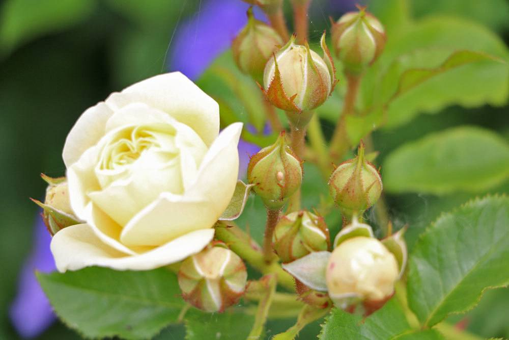 Rose 'Elfe'