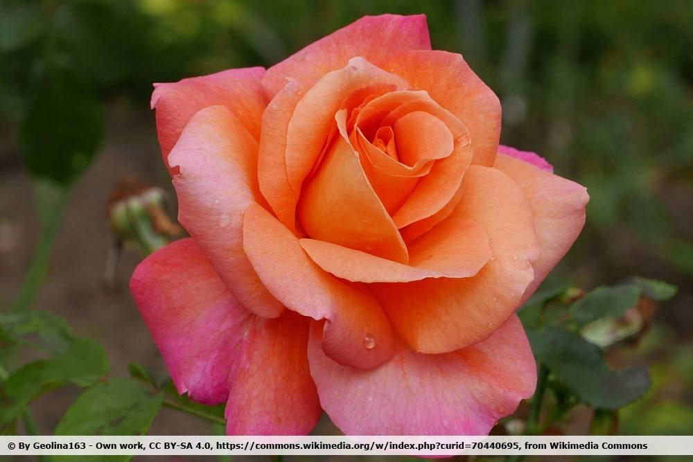 Rose 'Freisinger Morgenröte'