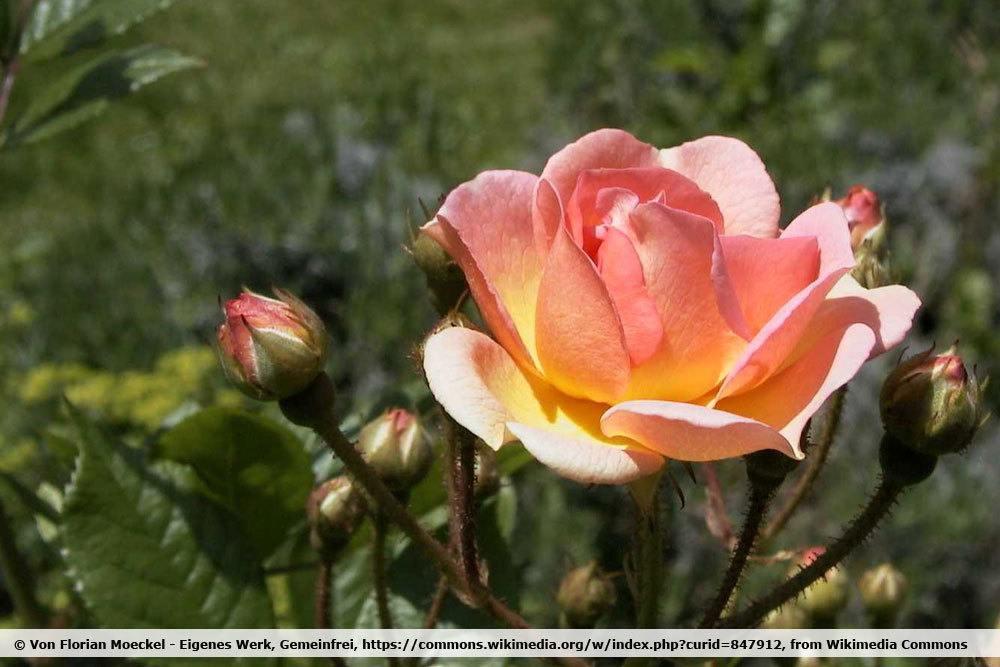 Rose 'Ghislaine de Féligonde'
