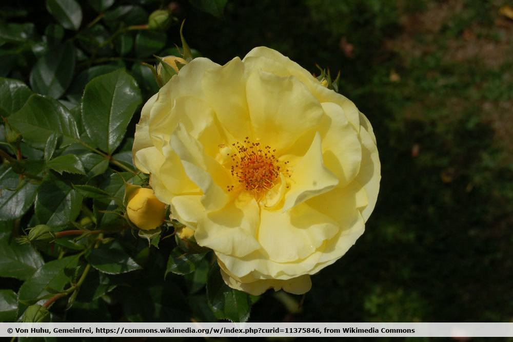 Rose 'Goldschatz'