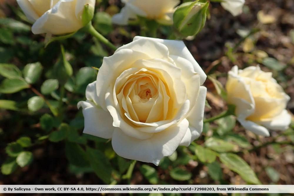 Rose 'Honeymilk'