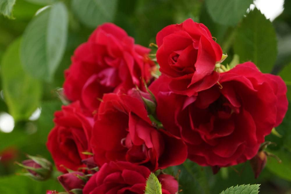 Rose 'Milano'