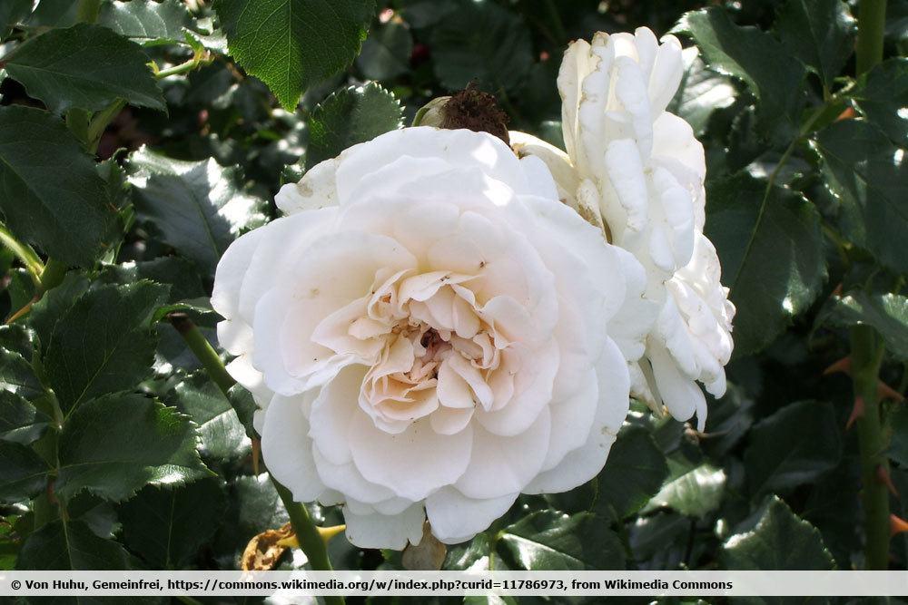 Rosa `Petticoat`