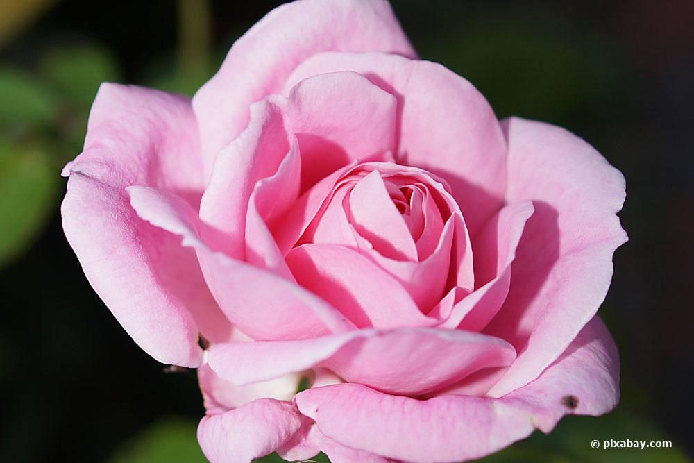 Rose 'Pink Symphonie'