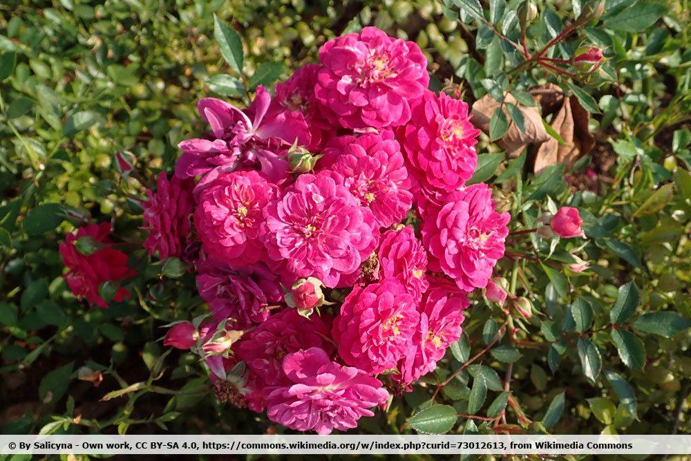 Rosa `Purple Rain'
