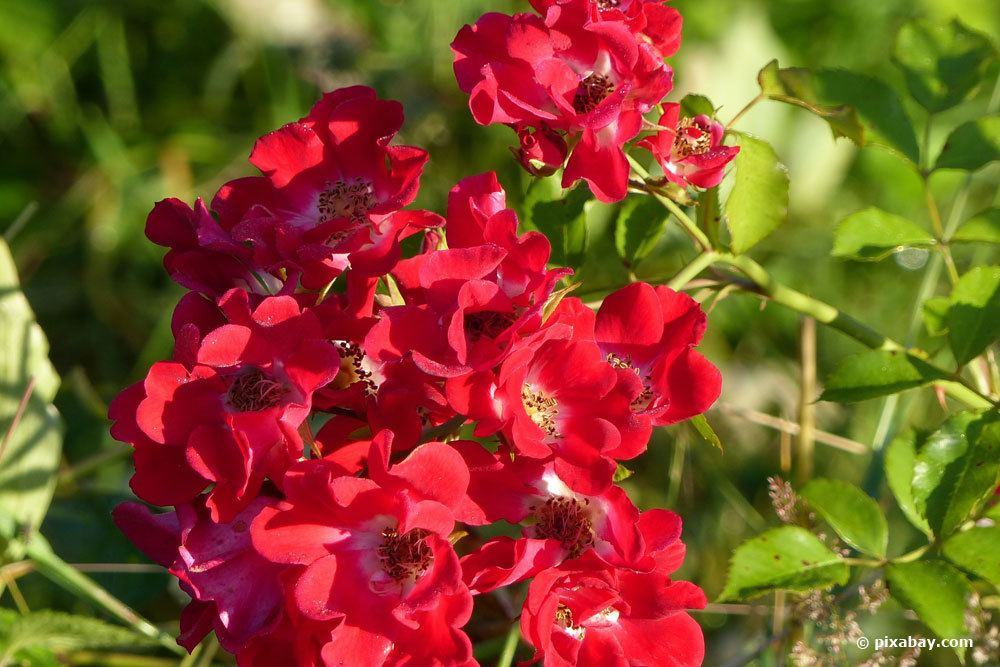 Rose Red Meidiland