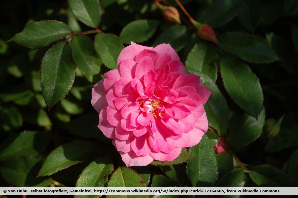 Rose 'Rosmarin 89'