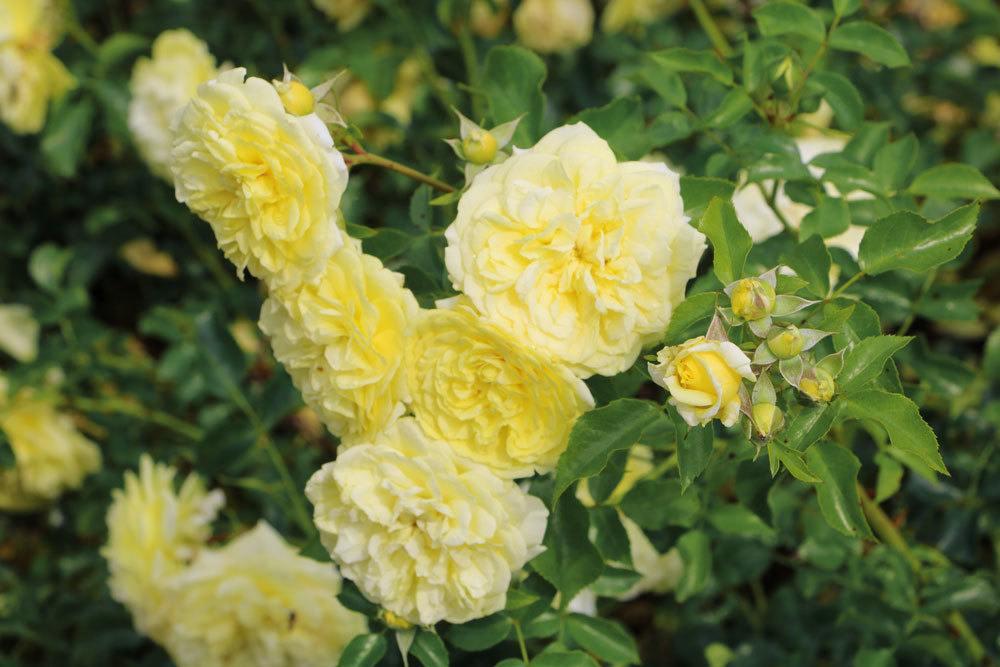 Rose 'Solero'