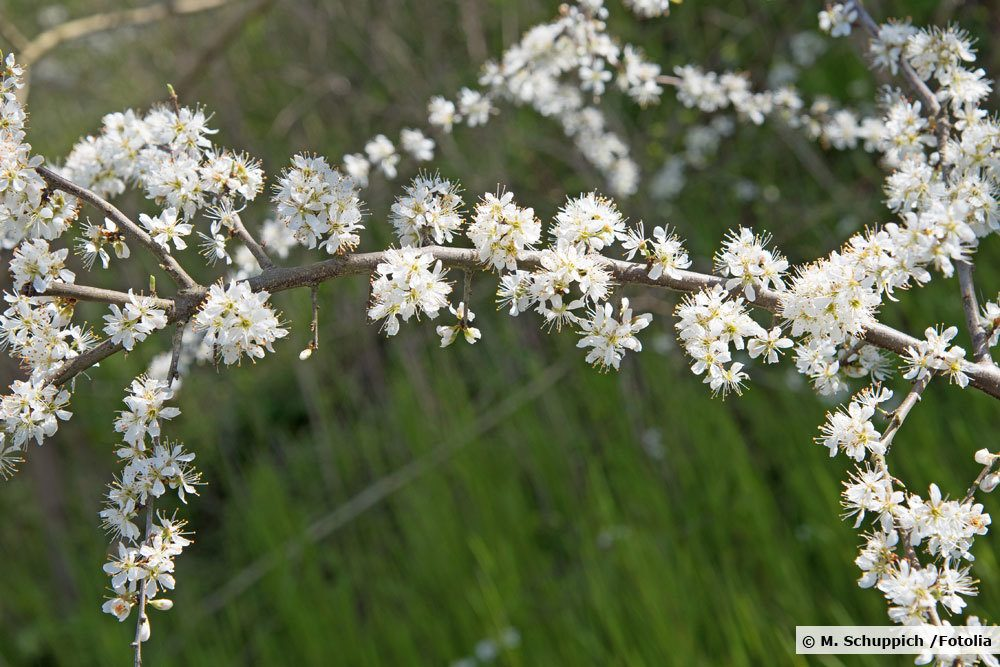 Blühender Schlehdorn, Prunus spinosa