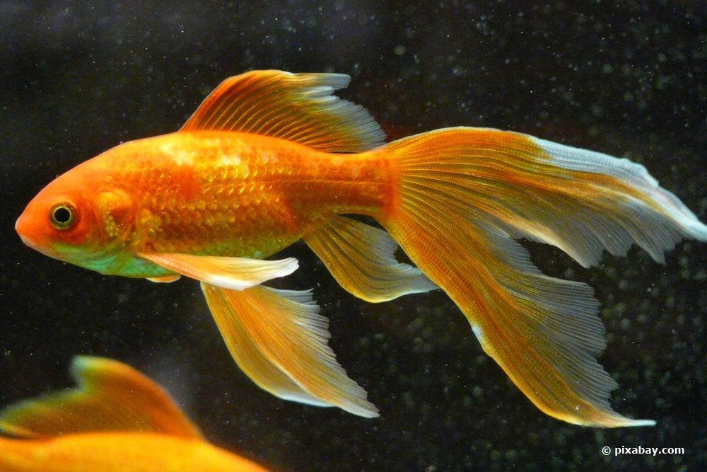 Schleierschwanz-Goldfisch