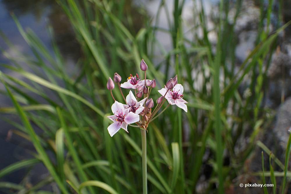Schwanenblume, Butomus umbellatus