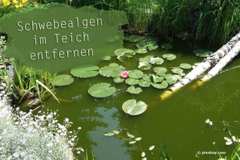 Schwebealgen im Gartenteich entfernen