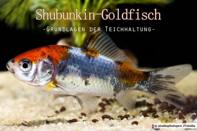 Shubunkin Goldfisch
