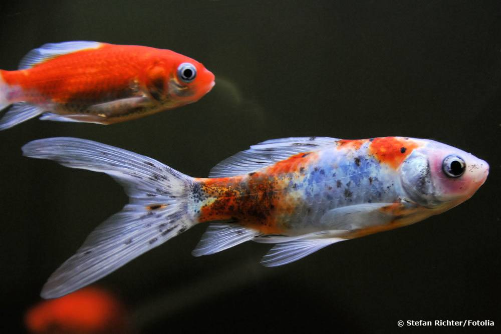 Shubunkin Goldfische im Teich