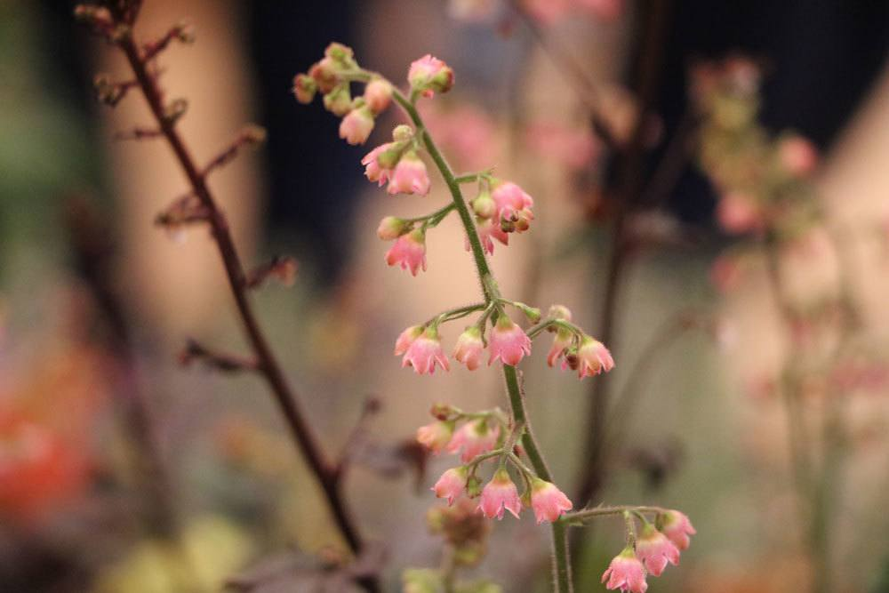 Silberglöckchen 'Black Beauty', Heuchera micrantha