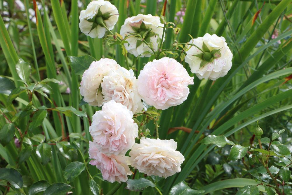 Rose 'Venusta Pendula'